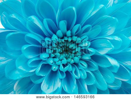 Blue Chrysanthemum Flower Isolated over White Background. Beautiful Dahlia Flowerhead Macro