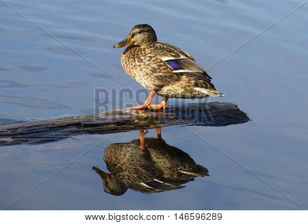 Wild duck sitting on the water behind the log