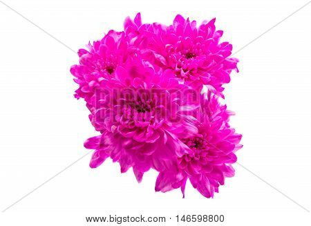 beautiful decoration magenta chrysanthemum on a white background