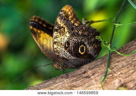Tropical butterfly caligo owl on the tree. Macro photografie of wildlife.