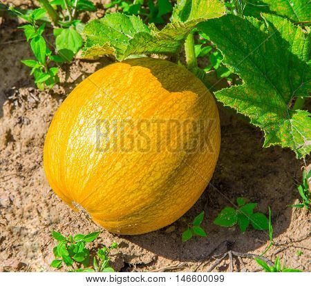 ripe yellow pumpkin in the garden on a bed vegetables close-up