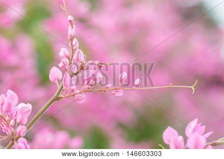 Coral Vine Or Antigonon Leptopus Hook Flower