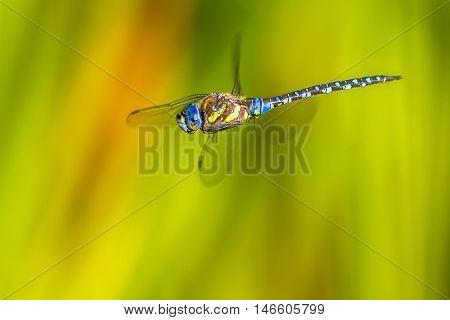 Flying Aeshna Dragonfly