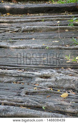 close up root banyan tree on walkway