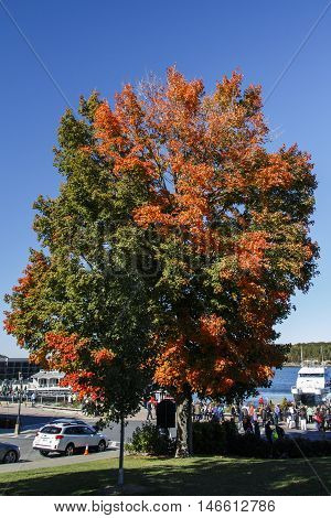 BAR HARBOR, USA - OCTOBER 15, 2015: Colorful maple leaf tree during Indian Summer in Bar Harbor (Maine USA)
