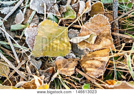 Yellow Autumn Leaves On The Ground Covered With Frost