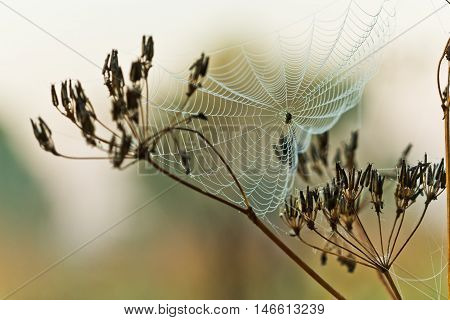 Cobweb on grass with drops of morning dew