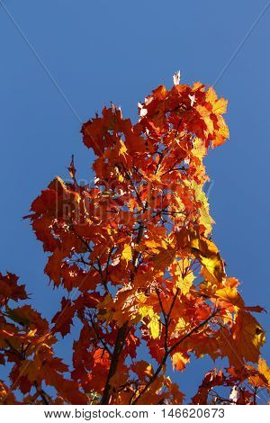 Colorful maple leaf tree during Indian Summer in Bar Harbor (Maine USA)