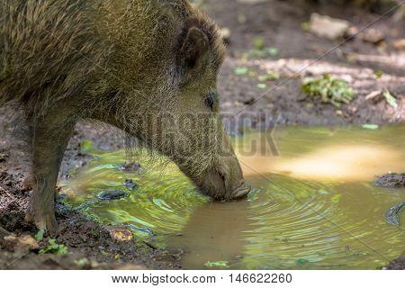 Dinking Wild Boar