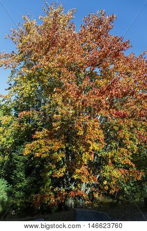 Colorful maple leaf tree during Indian Summer in the Acadia National Park in Bar Harbor (Maine USA)
