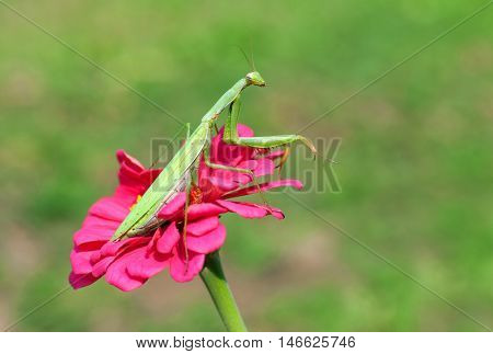 Praying mantis sitting on a purple flower