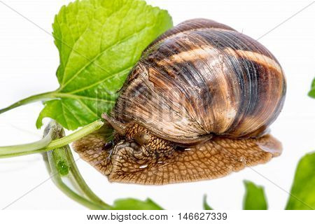 Snail with green leaves on a white background