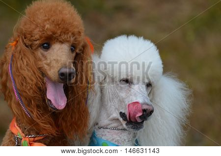Cute pair of standard poodles with their tongues hanging out.