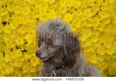 Brown toy poodle pup iwth a sweet expression.