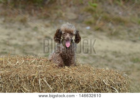 Cute brown toy poodle with his pink tongue sticking out.