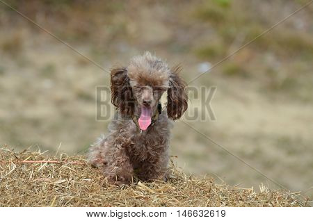 Brown toy poodle dog yawning on a bail of hay.
