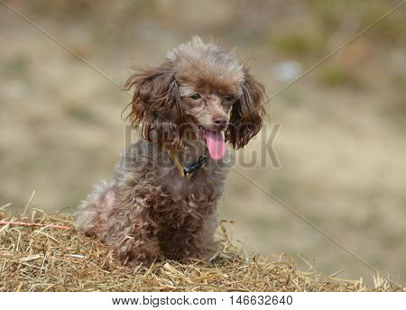 Cute brown toy poodle on a large bail of hay.