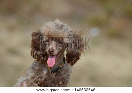 Adorable brown toy poodle pup with a pink tongue.