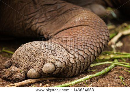 skin of galapagos turtle. in galapagos Islands. endangered animal.