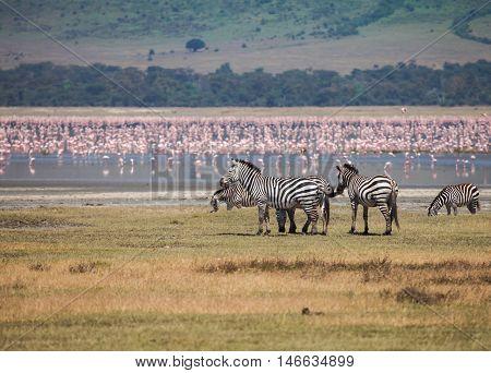 zebra in Ngorongoro Conservation Area. Animals in wildlife for background.