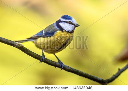 Blue Tit Autumn Color