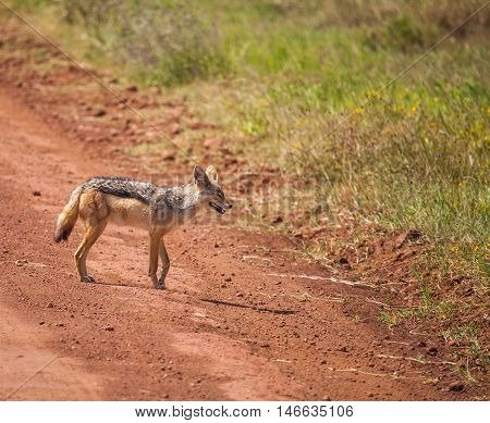 black-backed jackal moving on wildlife. The black-backed jackal (Canis mesomelas) is a canid native to two areas of Africa.