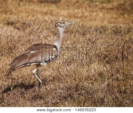 secretary bird walking on wild grass. The secretarybird or secretary bird (Sagittarius serpentarius) is a very large mostly terrestrial bird of prey. Endemic to Africa.