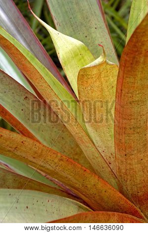Green Bromelia typical of tropical forests with their characteristic leaves