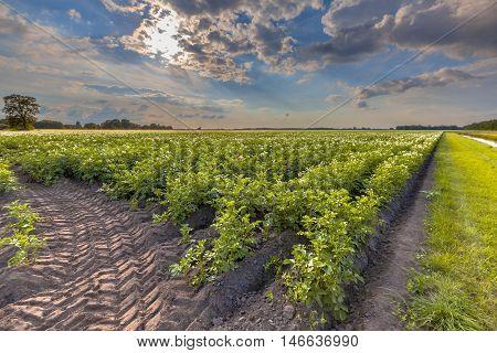 Field Of Blooming Potato