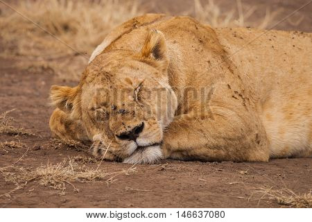 Lion was infested with insects in wildlife
