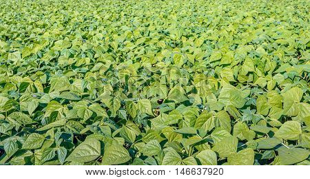 Organically grown young and fresh French bean plants in varied shades of green in an endless field on a sunny day in the summer season. The blossoming of the plants has started recently.