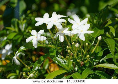 close up white inda flower in nature garden