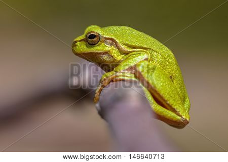 Green European Tree Frog