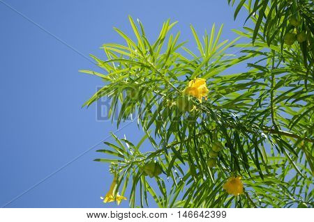 close up oleander flower tree in garden