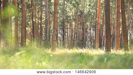 Early morning in pine forest. Indian summer in coniferous forest in sunny weather in morning.