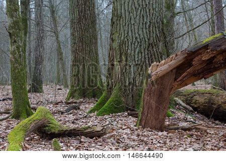 Monumental oak trees of Bialowieza Forest deciduous stand, Bialowieza Forest, Poland, Europe