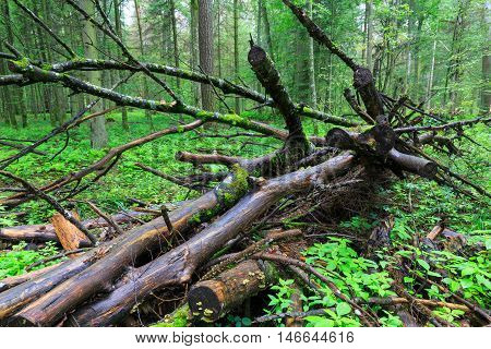 Deciduous Stand Of Bialowieza Forest Rain After In Summer