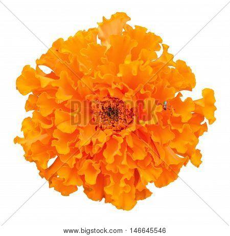 Beautiful orange marigold flower isolated on white background. Bright orange tagetes, African marigolds on white