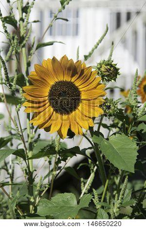 Sunflower in Garden in Duluth, Minnesota in the Summer.