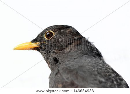 Close up of a male Blackbird with white background