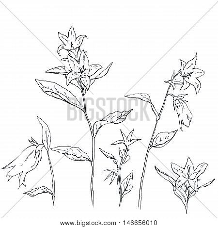 hand drawn set of graphic flowers Campanula bellflower on white background