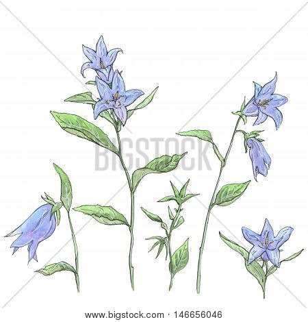 hand drawn set of watercolor flowers Campanula bellflower on white background