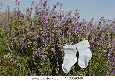 Lavender stems and baby boy socks in a field