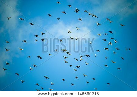 A view of a large flock of pigeons flying high overhead against a blue sky.