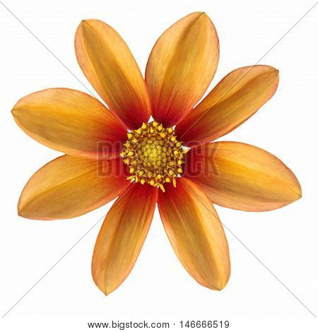Orange flower Dalia georginia (Dahlia Cav.) in white background