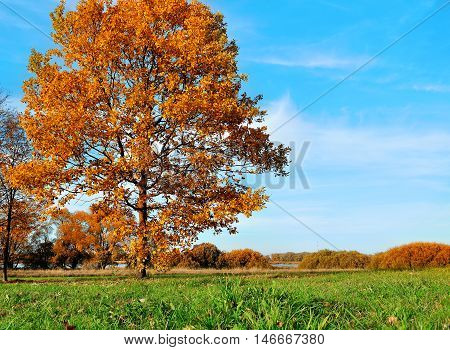 Autumn landscape with orange autumn trees. Autumn nature -orange autumn oak in autumn sunny field. Colorful autumn view of autumn field. Soft focus applied. Autumn nature in sunlight