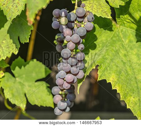 Blue grape cluster on vine closeup photo with green leaves