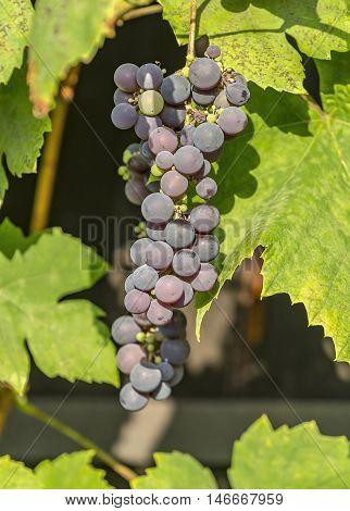Blue Grape Cluster On Vine Closeup Photo
