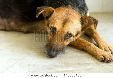 Sad shelter dog is a very unhappy German Shpherd dog looking like he wants someone to take him home and love him.