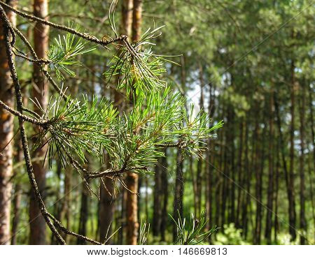 Platted spider web on a pine branch in the forest